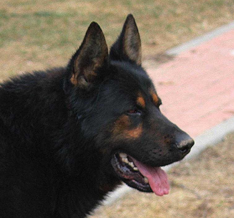 Yugo vom Kabuschsee, bicolor DDR male, 2 y.o.
