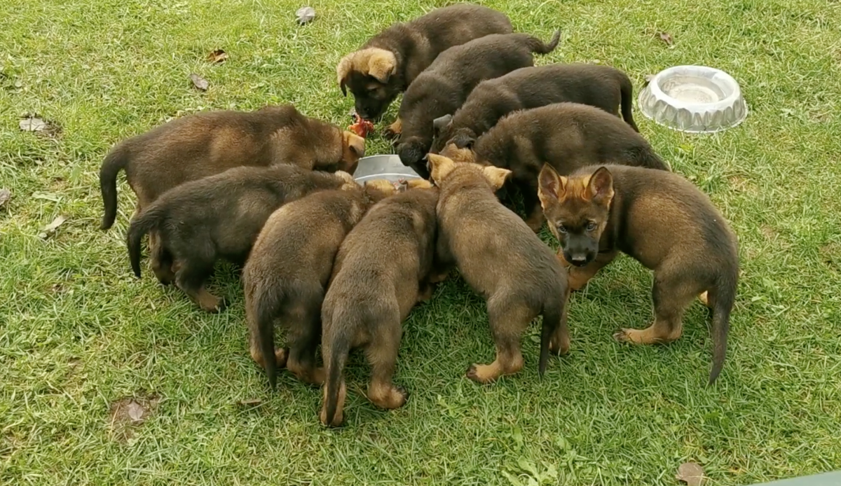 Stasi-Puppies